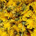 Récolte des fleurs de pissenlit